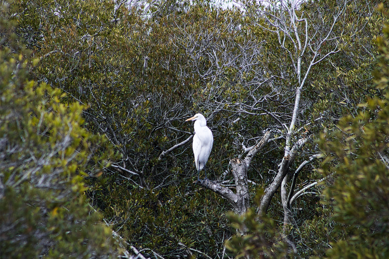 Egret in a tree.
